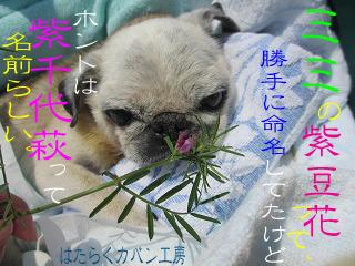 IMG_6955 ミミの紫豆花の文字入り .jpg